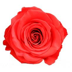 Coral preserved rose