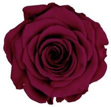 Dark Fuchsia preserved rose