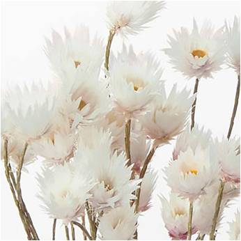 Dried daisies natural