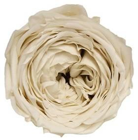 Garden preserved rose Ivory