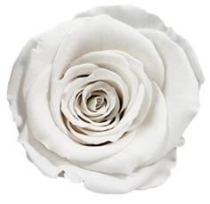 Ivory preserved rose