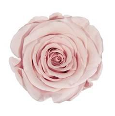 Light pink preserved rose
