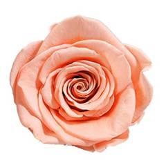 Peach preserved rose