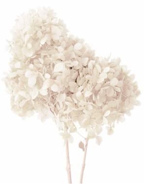 Preserved hydrangea Peegee white