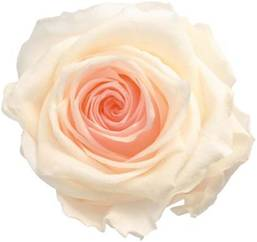 Specialty rose white pink
