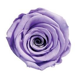 Violet purple preserved rose